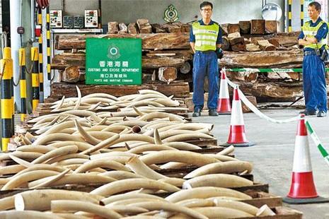 香港政府將銷毀象牙,教會環保人士嘆未達教育意義 thumbnail